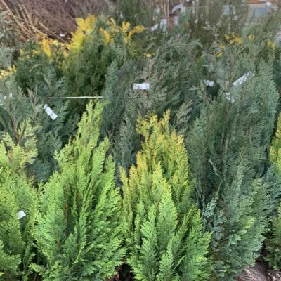 rootball-conifers1